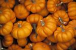 Jack-Be-Little Pumpkins