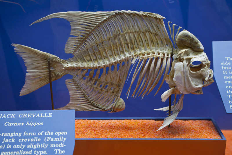Jack Crevalle Skeleton