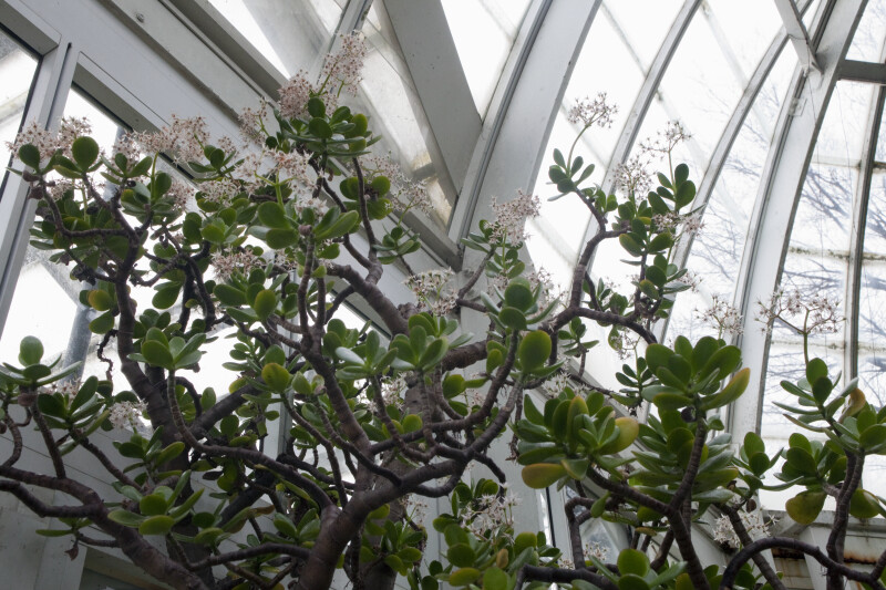 Jade Plant Branches