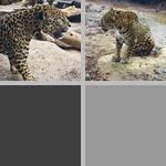 Jaguars photographs