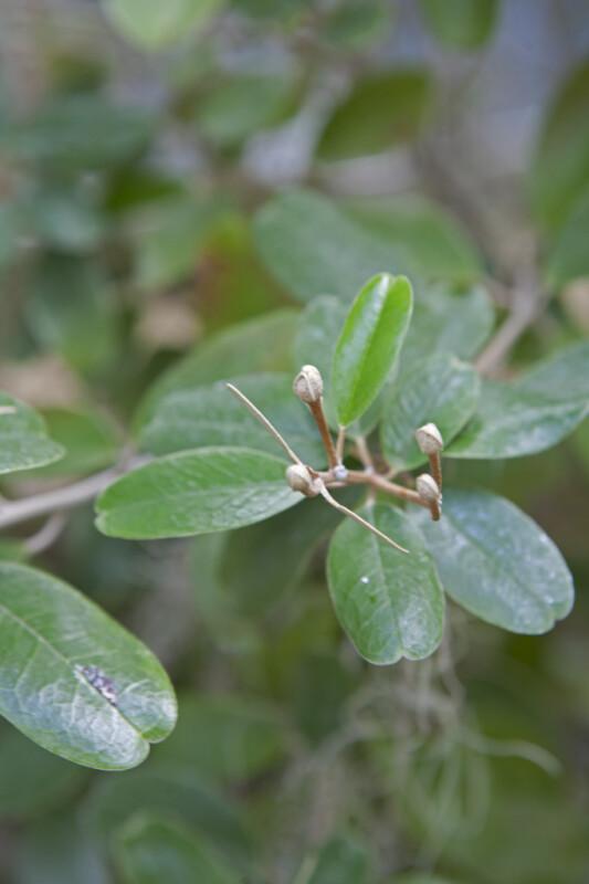 Jamaica Caper Detail