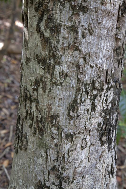 Jamaica Dogwood  Trunk