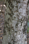 Jamaica Dogwood  Trunk