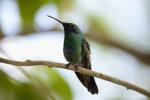 Jamaican Mango Hummingbird