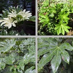 Japanese Aralia photographs