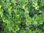 Japanese Boxwood Leaves