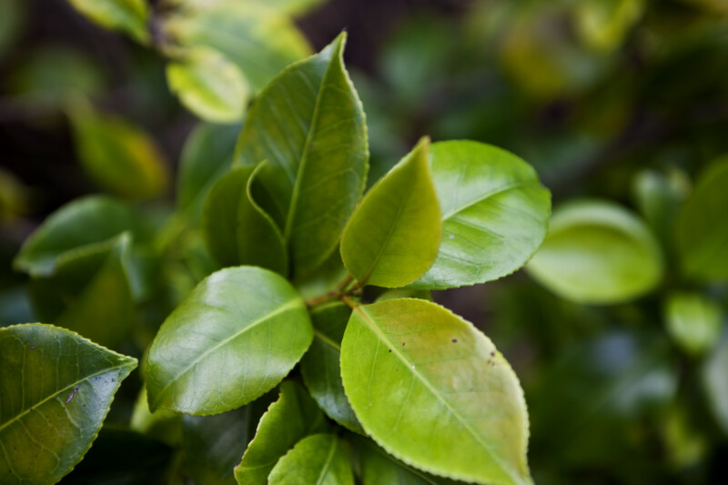 Japanese Camellia Leaves