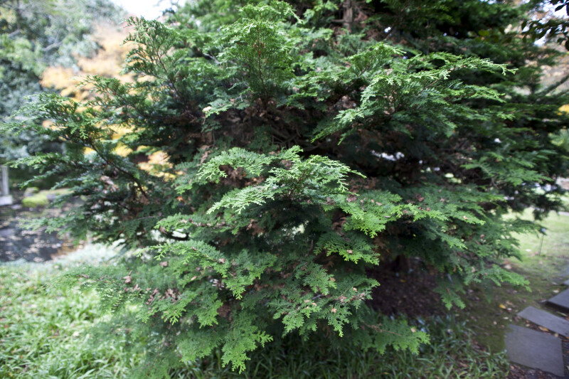Japanese Cypress Branches