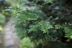 Japanese Cypress Leaves