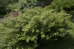 Japanese Holly at the Arnold Arboretum of Harvard University
