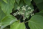 Japanese Hydrangea Vine Buds