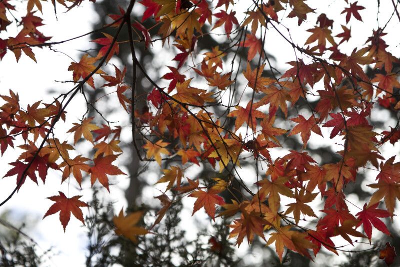 Japanese Maple Branches and Leaves