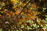 Japanese Maple Branches With Leaves and Samaras