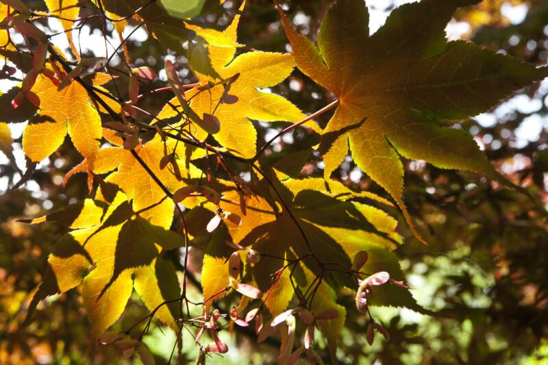 Japanese Maple Leaves in Sun