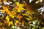 Japanese Maple Leaves in Sun