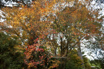 Japanese Maple Tree with Yellow and Red Leaves