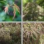 Japanese Maple Trees photographs