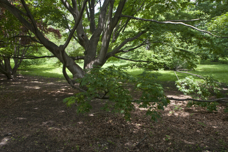 Japanese Maple with Long Branches