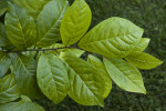 Japanese Orixa Leaves