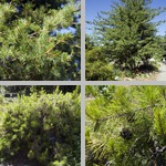 Japanese Pines photographs
