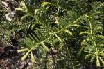 Japanese Plum Yew 'Duke Gardens' Branches