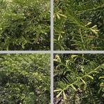 Japanese Plum Yews photographs