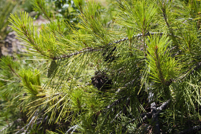Japanese Red Pine Needles