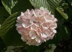 Japanese Snowball Flowers