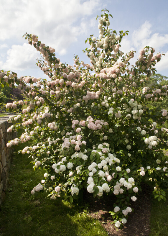 Japanese Snowball Shrub 'Mary Milton' at the Arnold Arboretum of Harvard University