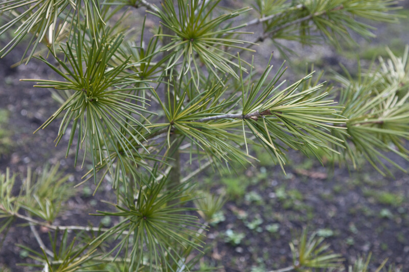 Japanese Umbrella Pine Leaves