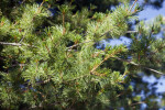 Japanese White Pine Detail