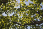 Japanese Zelkova Tree Branches Pictured Against Light-Blue Sky