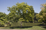 Japanese Zelkova Tree near a Pond