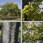 Japanese Zelkova Trees photographs