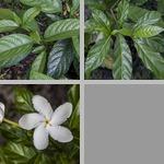 Jasmines photographs