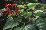 Java Glory Clerodendrum Leaves and Flowers