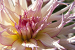 """Jennie"" Dahlia Detail"