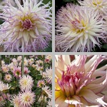 Jennie Dahlias photographs