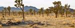 Joshua Trees Cover the Desert