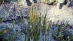 Junegrass