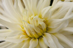 """Junior"" Semi-Cactus Dahlia Close-Up"