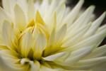 """""""Junior"""" Semi-Cactus Dahlia"""
