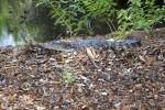 Juvenile American Alligator in Mulch