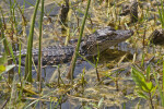Juvenile American Alligator in Shallow Water