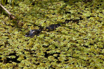 Juvenile American Alligator Swimming Through Dense, Aquatic Vegetation