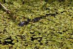 Juvenile American Alligator Swimming Through Dense, Aquatic Vegetation