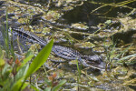 Juvenile American Alligator Swimming Through Plants