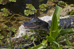 Juvenile American Alligator with its Mouth Open