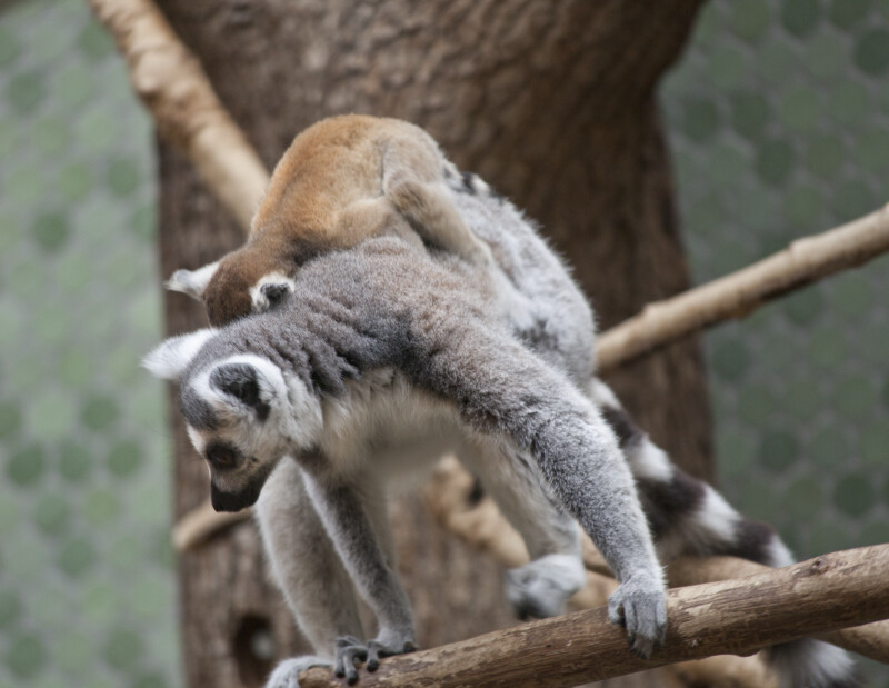 Juvenile and Adult Ring-Tailed Lemurs