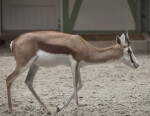 Juvenile Springbok at the Artis Royal Zoo